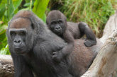 Mountain Gorilla Tour Congo 3 days