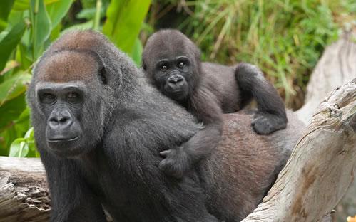 Mountain Gorilla Tour Congo 3 days