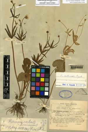 Ranunculus mutinensis Pignatti © Herbarium Centrale Italicum