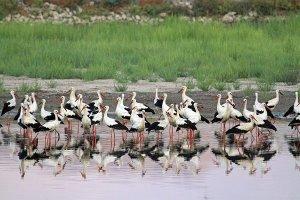Storks at the Hula Lake
