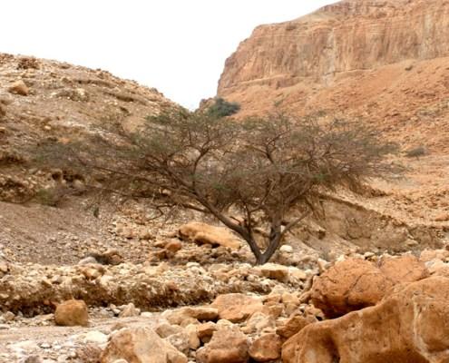 acacia tree Israel