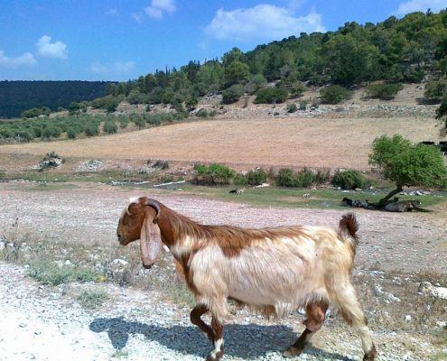 Galilee Goat