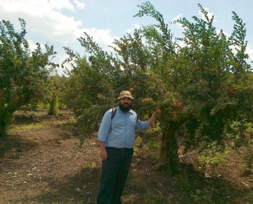 Pomegranate Tree Galilee Israel
