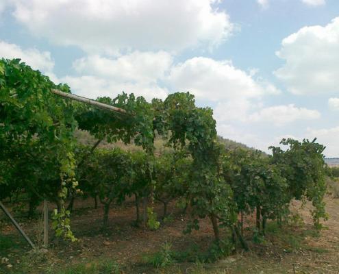 Vinyard in the Galilee