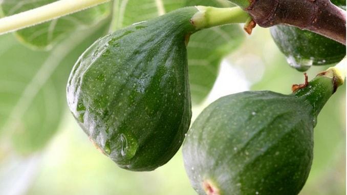 fig-fruit-of-herzegovina-min