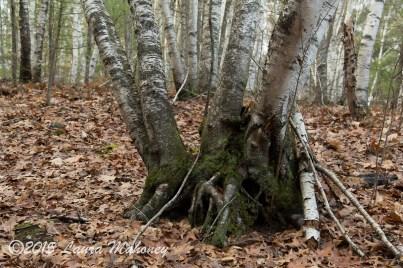 A beautiful birch stand