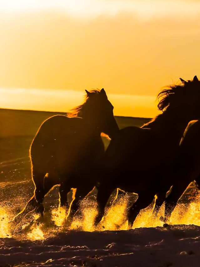 East Coulee, wild horses - Route des cowboys