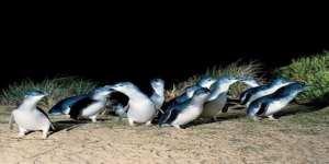 tourism-guide-australia-penguin-parade-phillip-Island-victoria