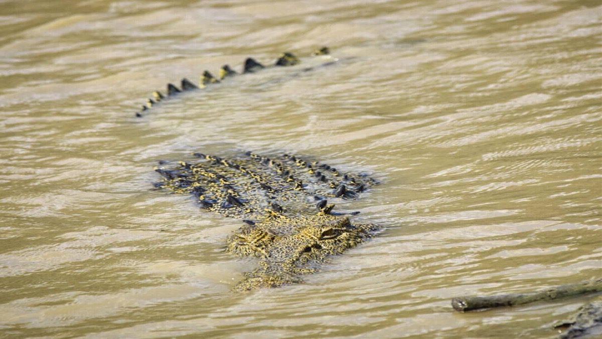 tourism-guide-Australia-saltwater-crocodile