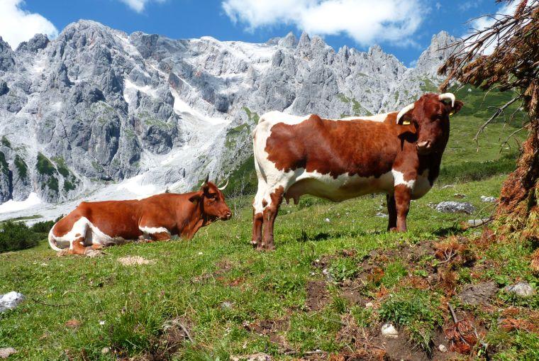 Kühe auf der Alm © Christian Wagner