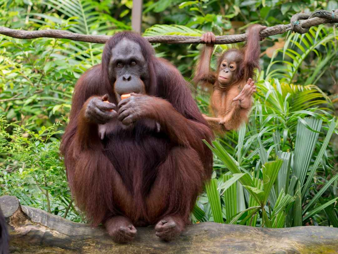 orangutan eating fruit near funny baby primate hanging on liana
