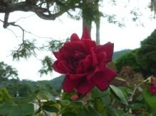 Rosa de Alegría