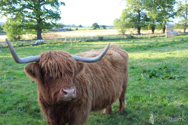 Une vache Ecossaise à Inverness en Ecosse