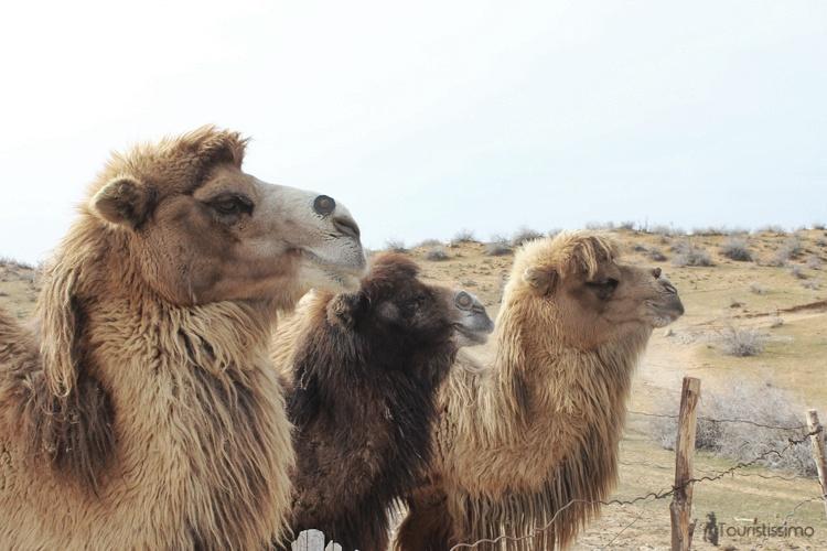 Des chameaux Ouzbek