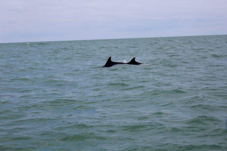 deux dauphins qui nagent au large de Cancale