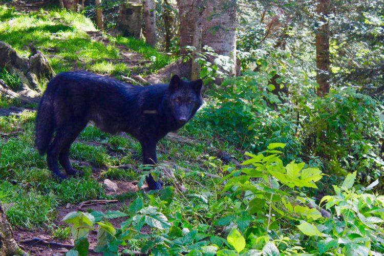 Loup du Canada Parc Alpha Mercantour