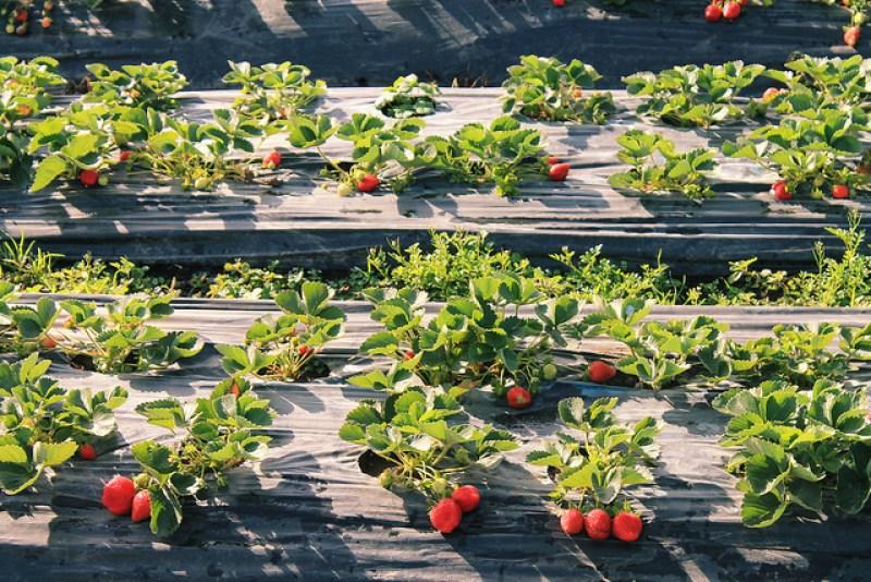 Strawberry Farm Baguio City