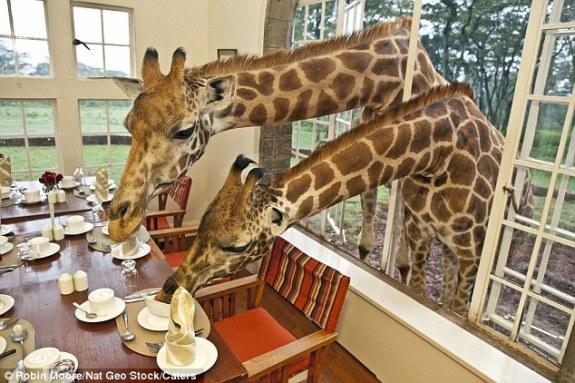 Giraffe Centre, pic: Robin Mobre
