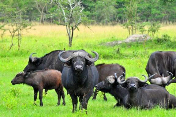 Buffaloes at Lake Mburo National Park