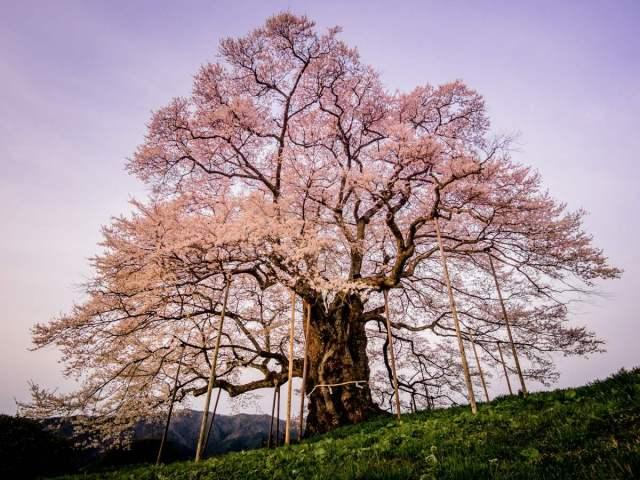 daigo sakura by kayamahealthtourism.com