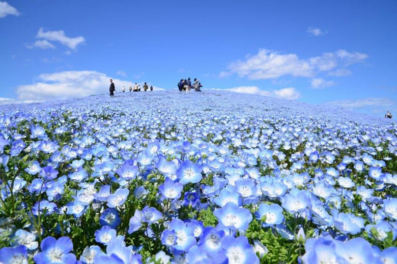 Nemophila Harmony Hitachi Seaside Park Jepang