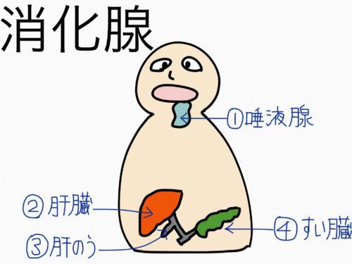 消化器系/消化管と消化腺の違い【第2章の覚え方】 | 絵で ...