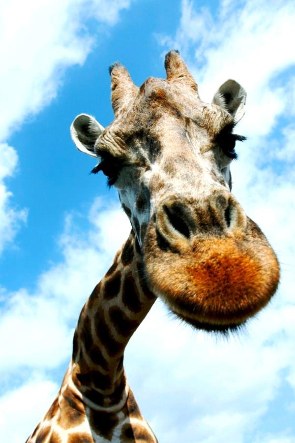 лицо жирафа
