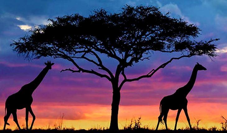 жирафы парка Серенгети