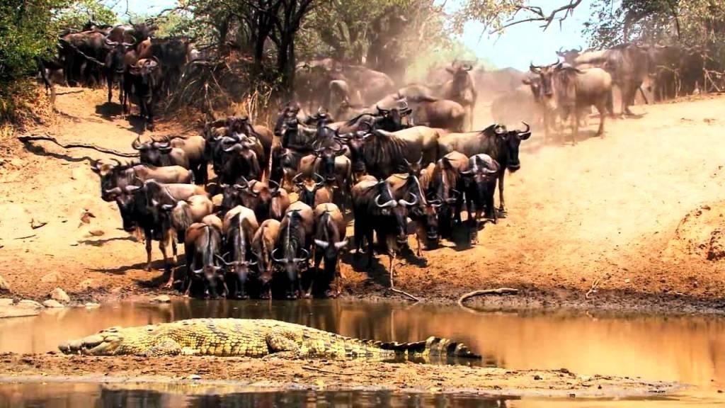 буйволы серенгети