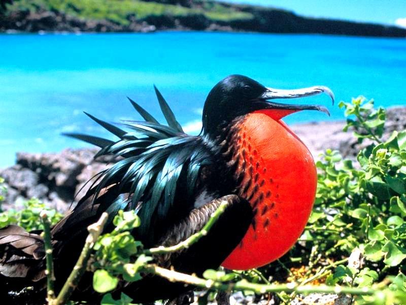 красногрудая птица