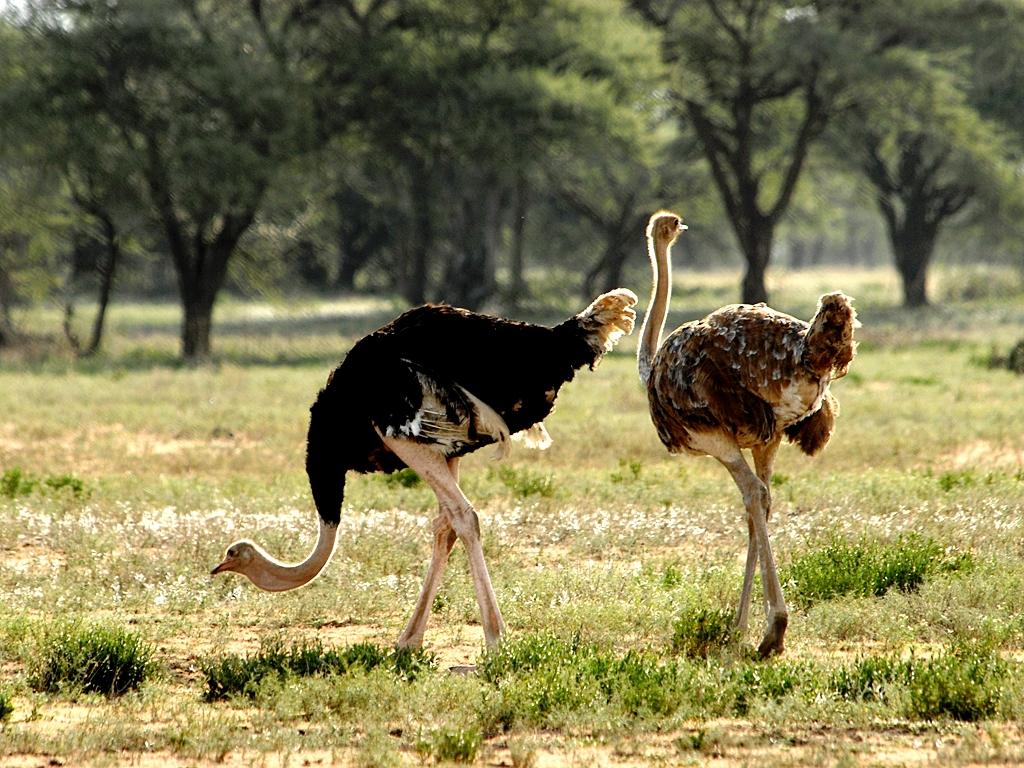группа страусов