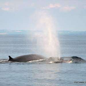 Fin Whales surfacing off the West Cork coast