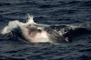 Minke whale lunge-feeding: West Cork wildlife, whale watching and birding tours in Ireland