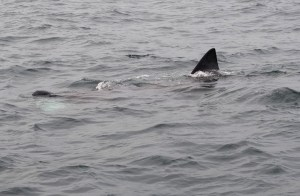 A basking shark feeding on the surface off the West Cork coast: wildlife holidays in Ireland