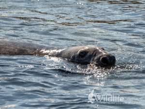 A large bull Grey Seal