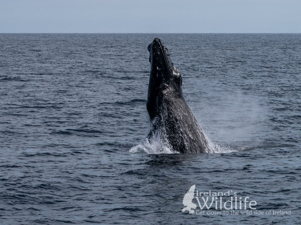 Breaching Humpback Whale, Ireland's Wildlife Tours