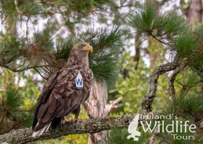 White Tailed Eagle West Cork