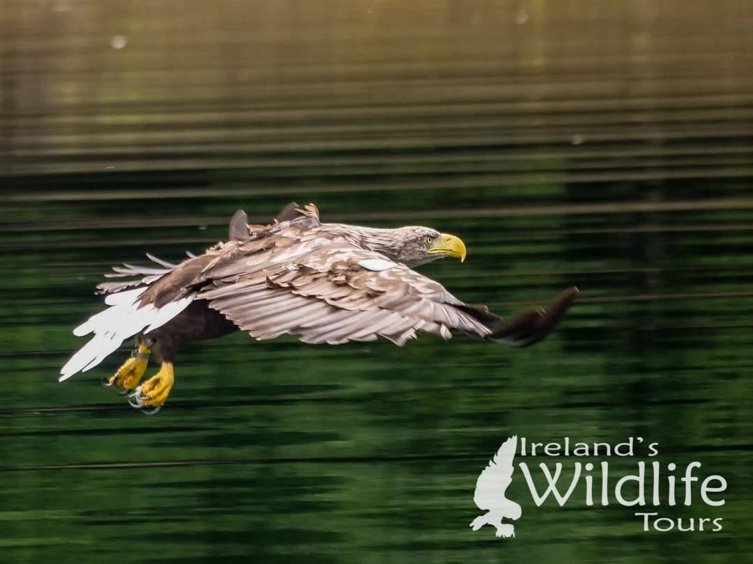 White-tailed Eagle on Ireland's Wild South Coast