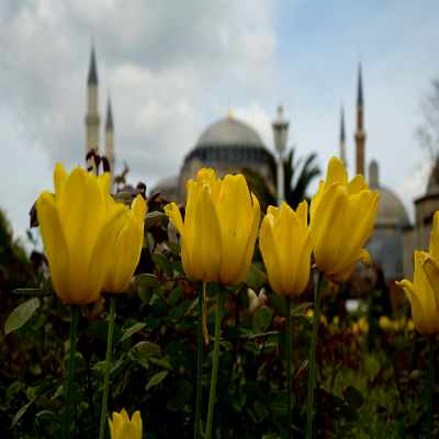 Tulips in front of Hagia Sophia