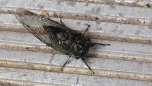 cicada in Ephesus Ancient City
