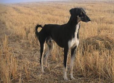 Turkish Greyhound Dog