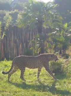 visite  zoo parc beauval fauve