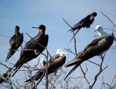 female-and-male-frigate-birds.jpg