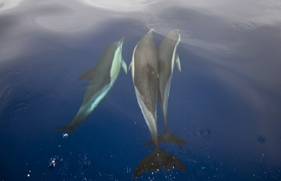 Azores dolphins swimming pico sao miguel islands