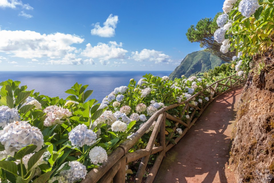 Coastal hiking path with hortensia on Sao Miguel, Azores Islands