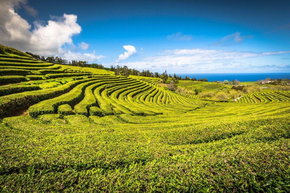 European Tea Farm Cha Gorreana Azores Tourisim