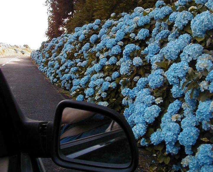 Azores Hydrangea Flowers