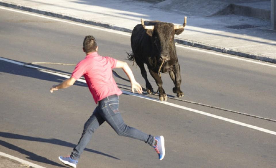 tourada a corda running with bulls on terceira azores