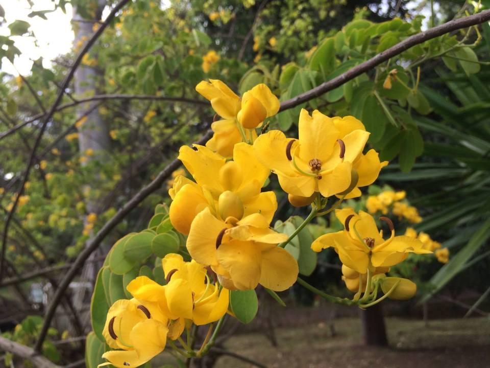 yellow flowers sao miguel island furnas hot springs garden