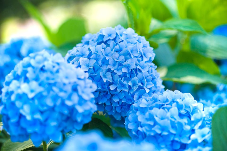 baby blue hydrangeas in the azores at garden in ribeira grande portugal